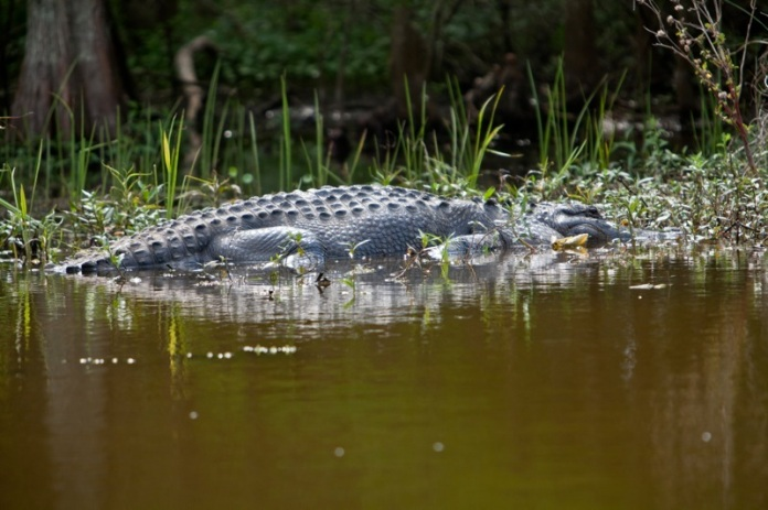 american alligator, brazos bend state park, texas