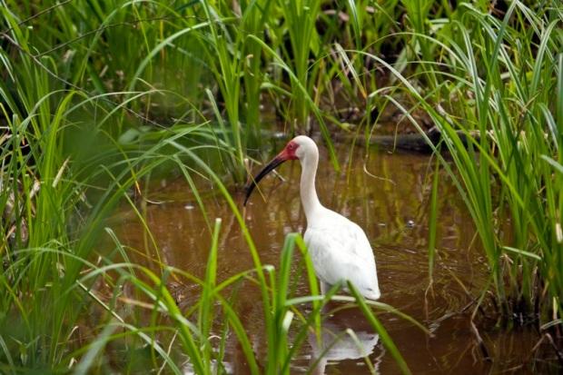 white ibis, brazos bend state park, texas