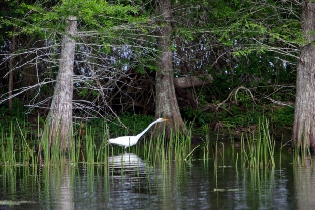 great egret, brazos bend state park, texas