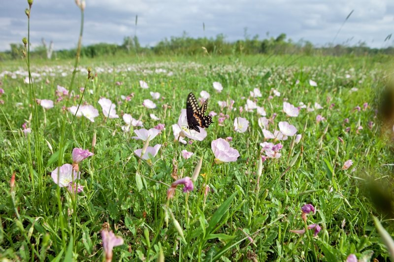 butterfly in showy primrose, brazos bend state park, texas