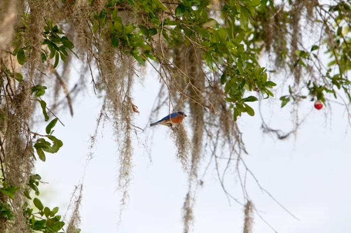 eastern bluebird, brazos bend state park, texas
