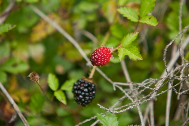 wild blackberries, brazos bend state park, texas