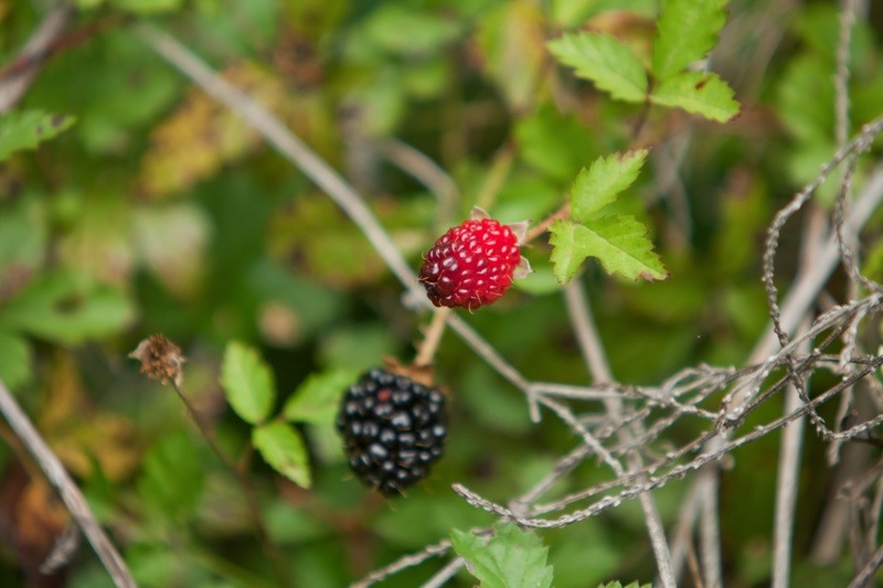 wild blackberries, brazos bend state park, texas