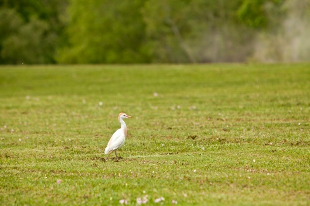 cattle egret, brazos bend state park, texas