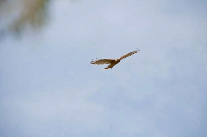 red tailed hawk flying, brazos bend state park, texas