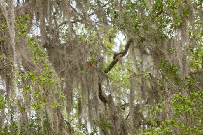 male red cardinal, brazos bend state park, texas
