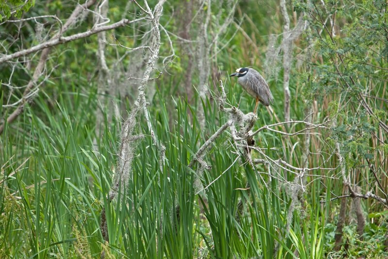 yellow-crowned night heron, brazos bend state park, texas