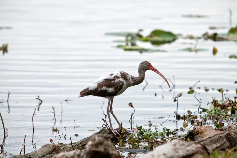 white ibis during it's first spring, brazos bend state park, texas