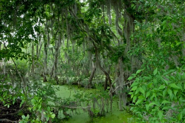 swampy landscape, brazos bend state park, texas