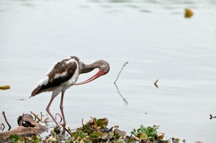 white ibis first spring, brazos bend state park, texas