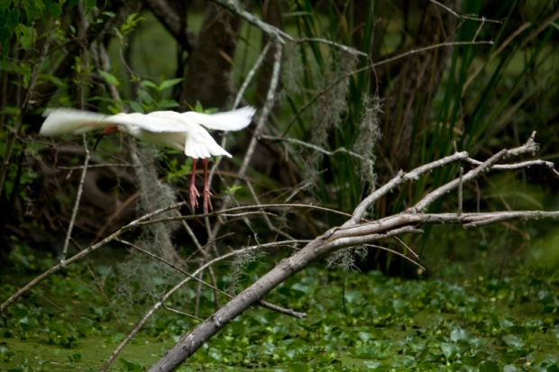 white ibis flying, brazos bend state park, texas