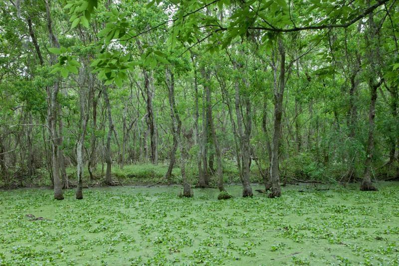 pilant lake, swamp, brazos bend state park, texas