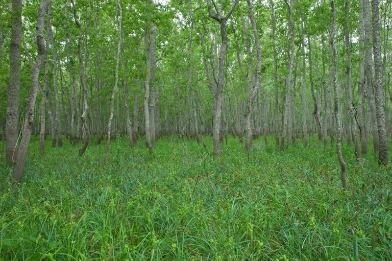 swampy forest, brazos bend state park, texas