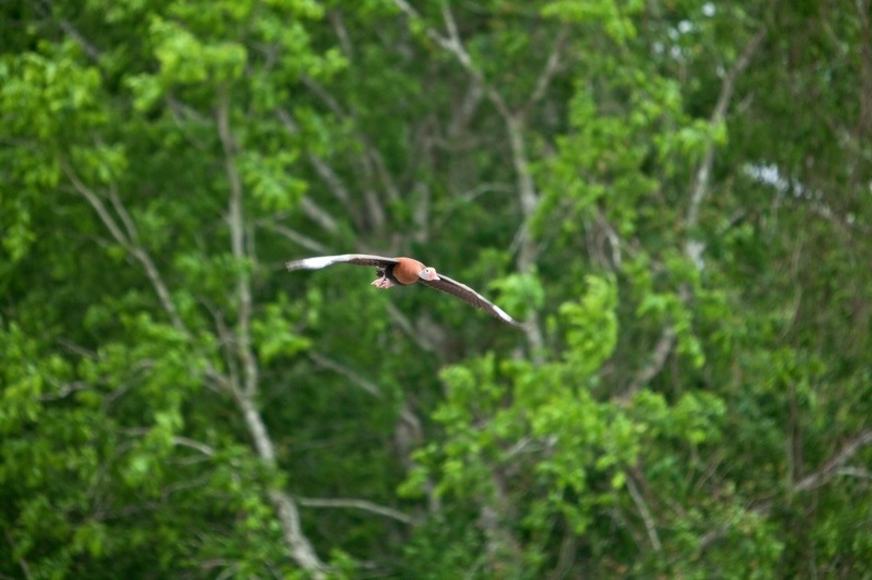 black-bellied whistling-duck, brazos bend state park, texas