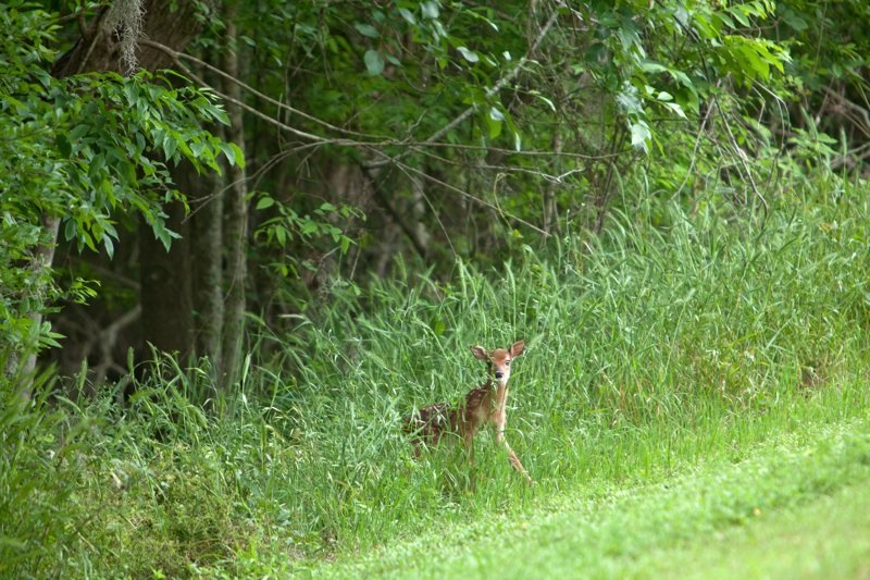 white tailed deer fawn, brazos bend state park, texas
