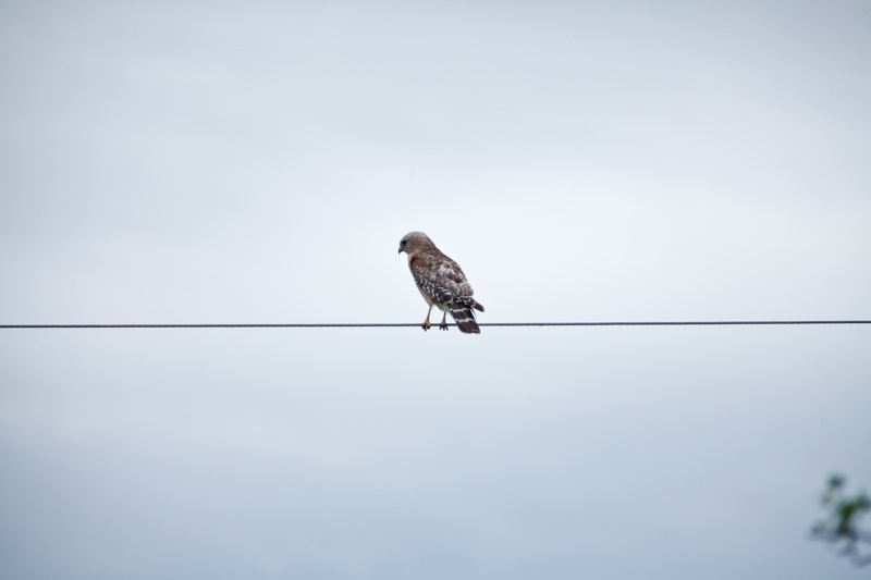 red-tailed hawk, brazos bend state park, texas