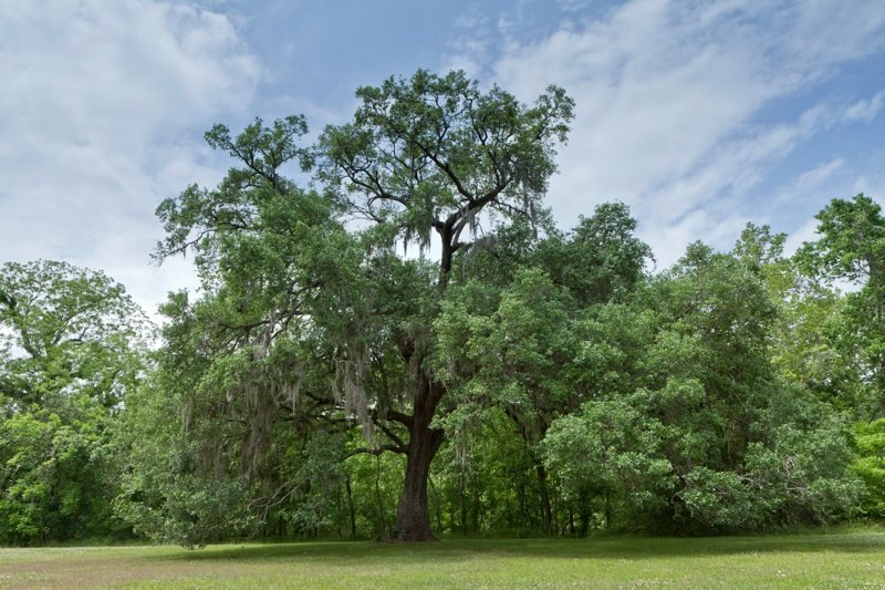 live oak and spanish moss, brazos bend state park, texas
