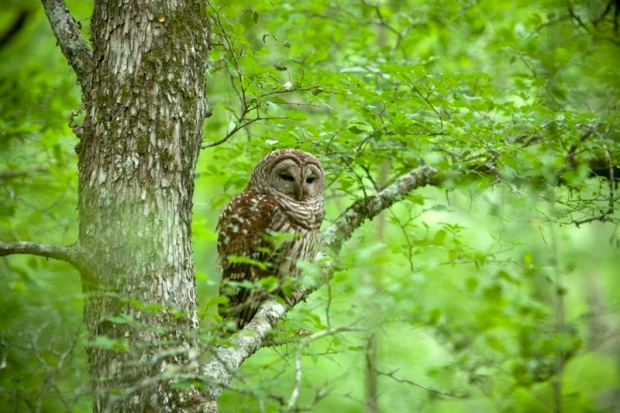 barred owl, brazos bend state park, texas