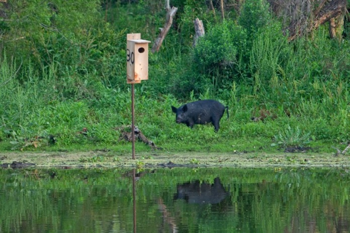 large black wild pig, brazos bend state park, texas