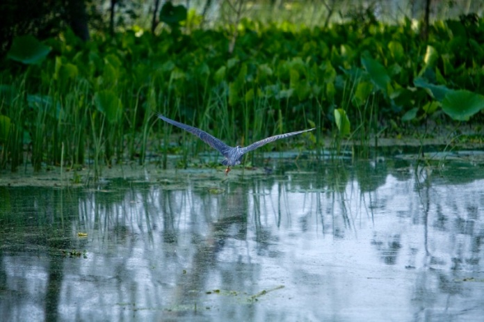 great blue heron flying, brazos bend state park, texas