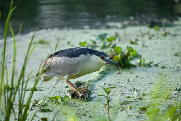 black-crowned night heron stalking, brazos bend state park, texas