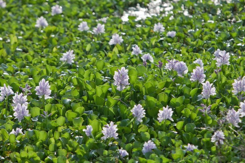 Water Hyacinth, brazos bend state park, texas