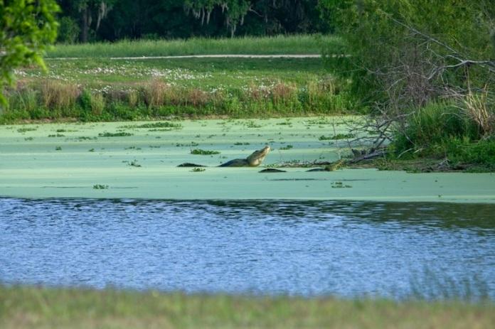 male alligator during breeding season, brazos bend state park, texas
