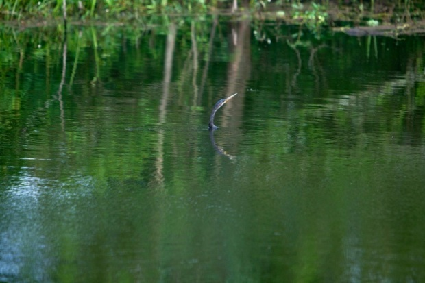 anhinga swimming, brazos bend state park, texas