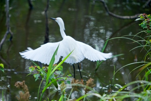 snowy egret, brazos bend state park, texas