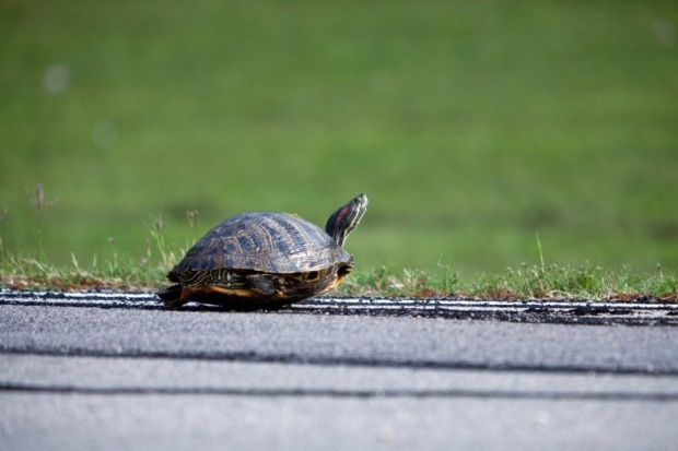 red slider turtle crossing a road, brazos bend state park, texas