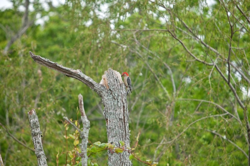 red-bellied woodpecker, brazos bend state park, texas
