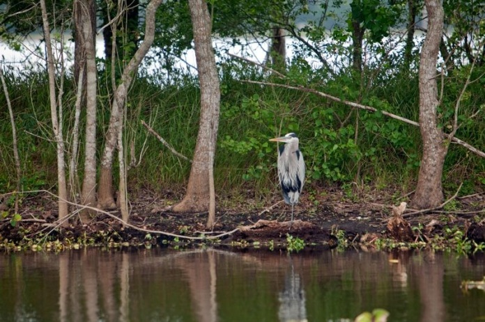 great blue heron, brazos bend state park, texas