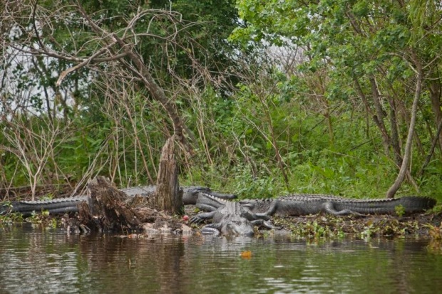 alligators, brazos bend state park, texas