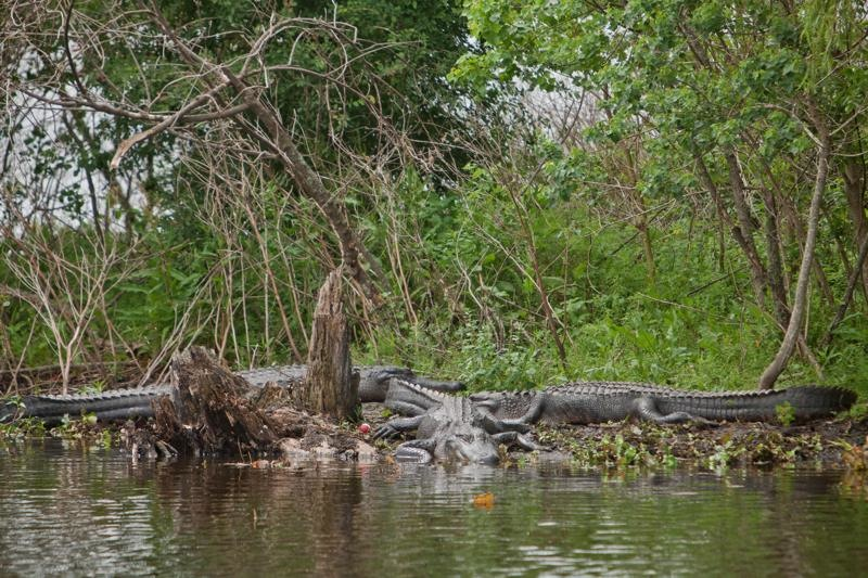 alligators, brazos bend state park, texas
