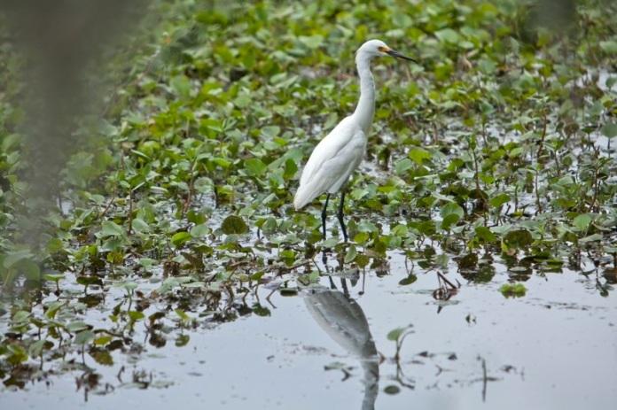 snowy egret, brazos bend state park, texas