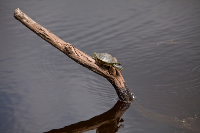 red slider turtle on a log in the water, brazos bend state park, texas
