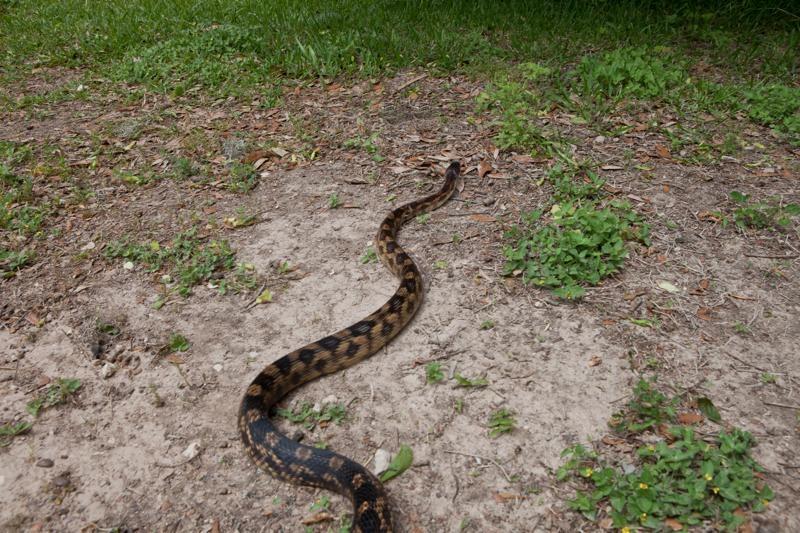 texas rat snake, brazos bend state park, texas