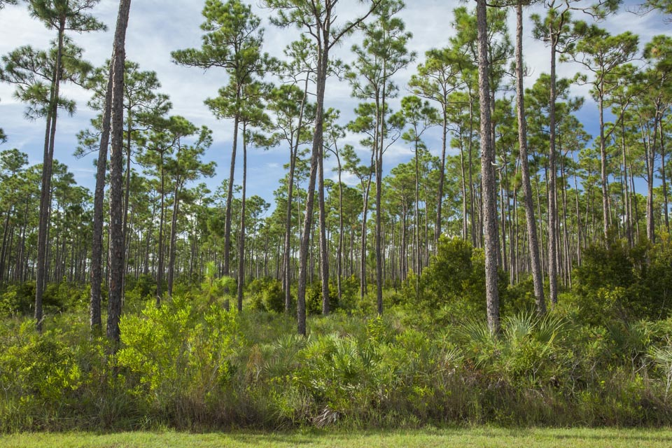 pineland forest of everglades national park