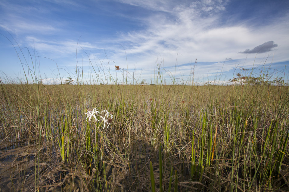 a white swamp lily in the river of grass in everglades national park