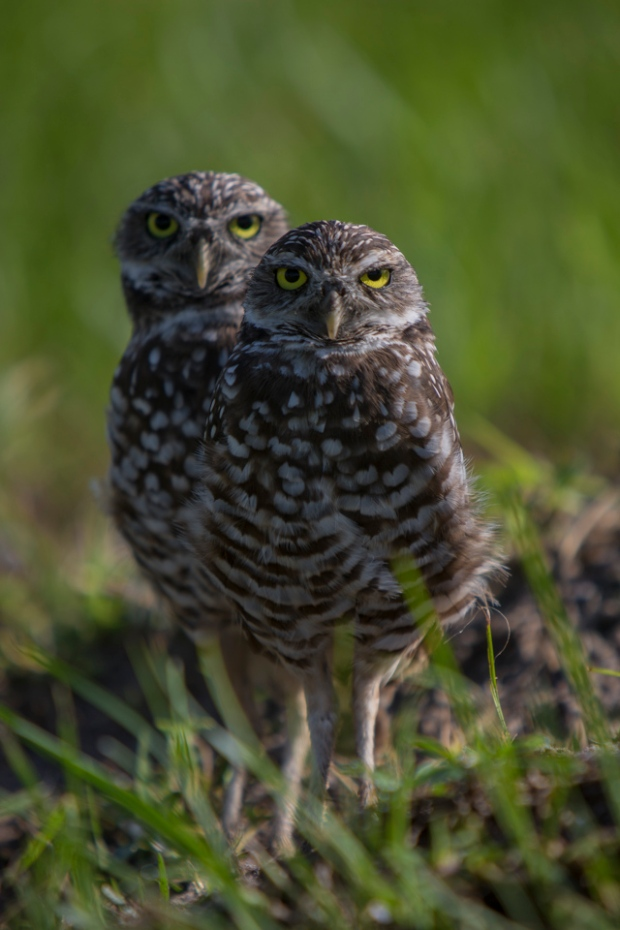 a pair of burrowing owls on marco island