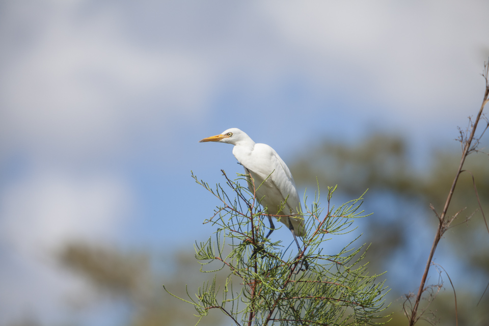 cattle egret near burns lake in big cypress national preserve