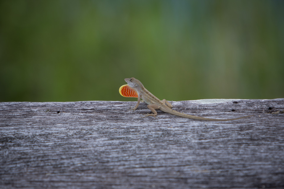 brown anole on the anhinga trail in everglades national park