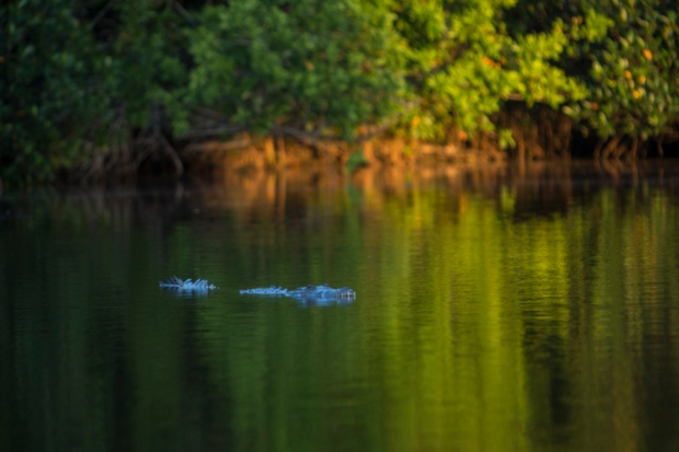 american crocodile at flamingo bay