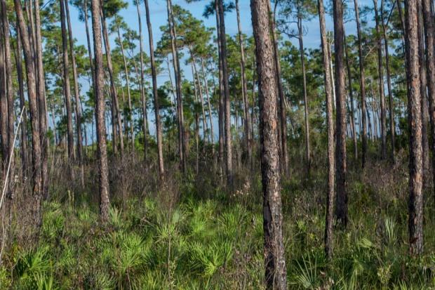 pineland forest