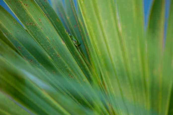 green treefrog in dwarf palmetto