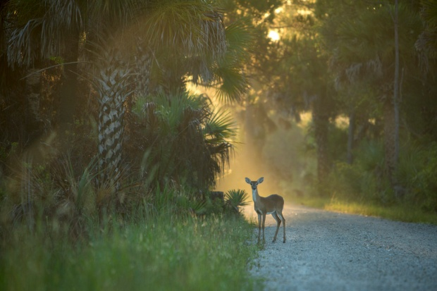 white tailed deer doe at dawn near bear island campground