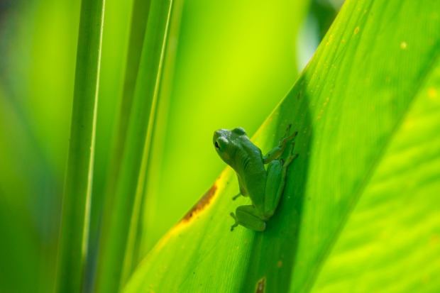 green treefrog near big cypress bend boardwalk trail