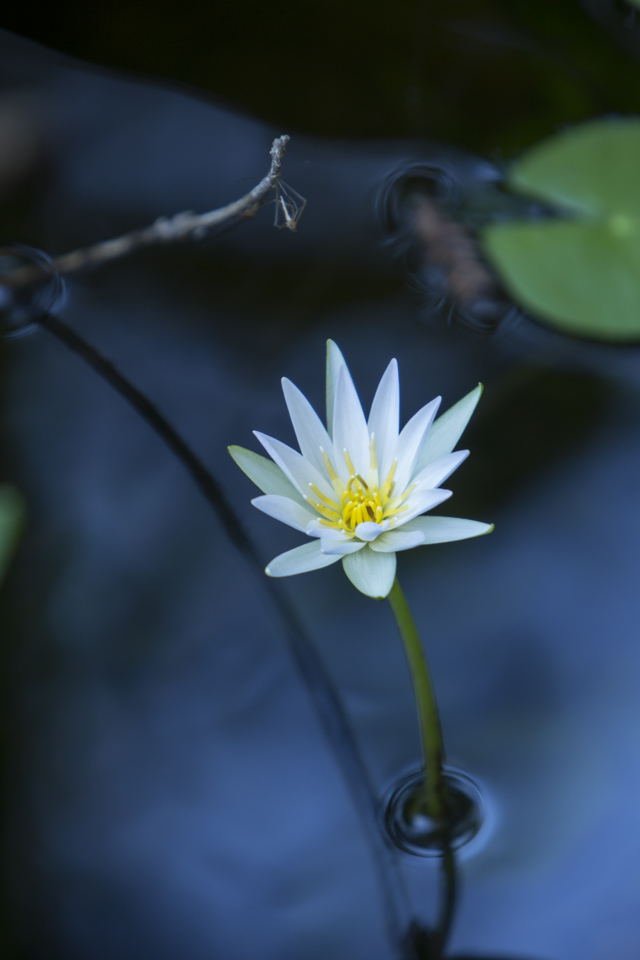 white water lily flower