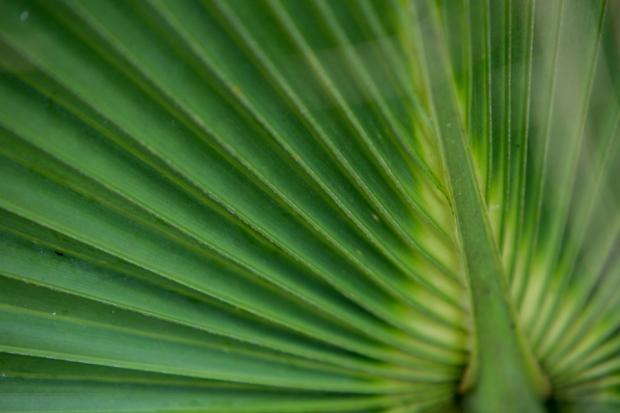 dwarf palmetto detail