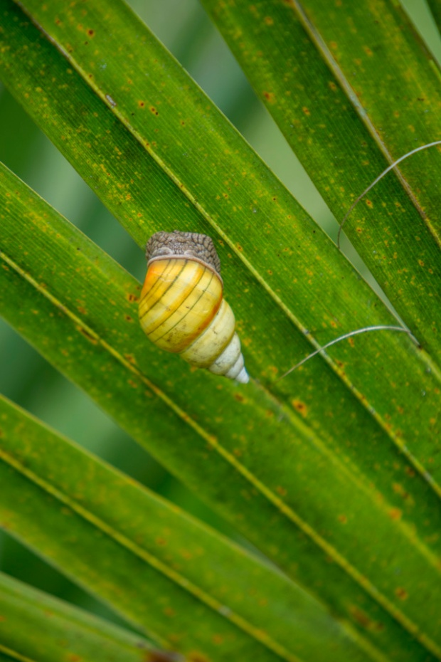 lingus tree snail